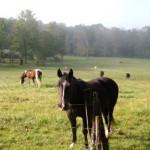 horses 150x150 Cades Cove