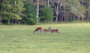 deerincadescove 300x178 Deer in Cades Cove October 2013