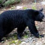 blackbearpic 150x150 Many Areas Still Closed Due To Bear Activities