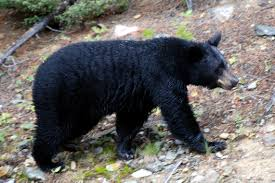 blackbearpic Aggressive Black Bear Activity Results in Some Closures